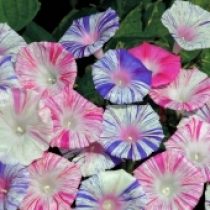 HẠT GIỐNG IPOMOEA MIX- DÂY LEO
